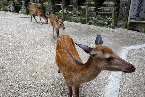 Nara - deer